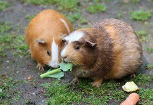 guinea pig food advice