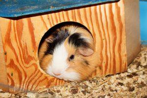 guinea house